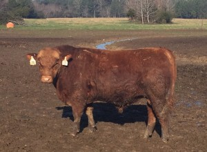 Red Angus Bull Arkansas 75
