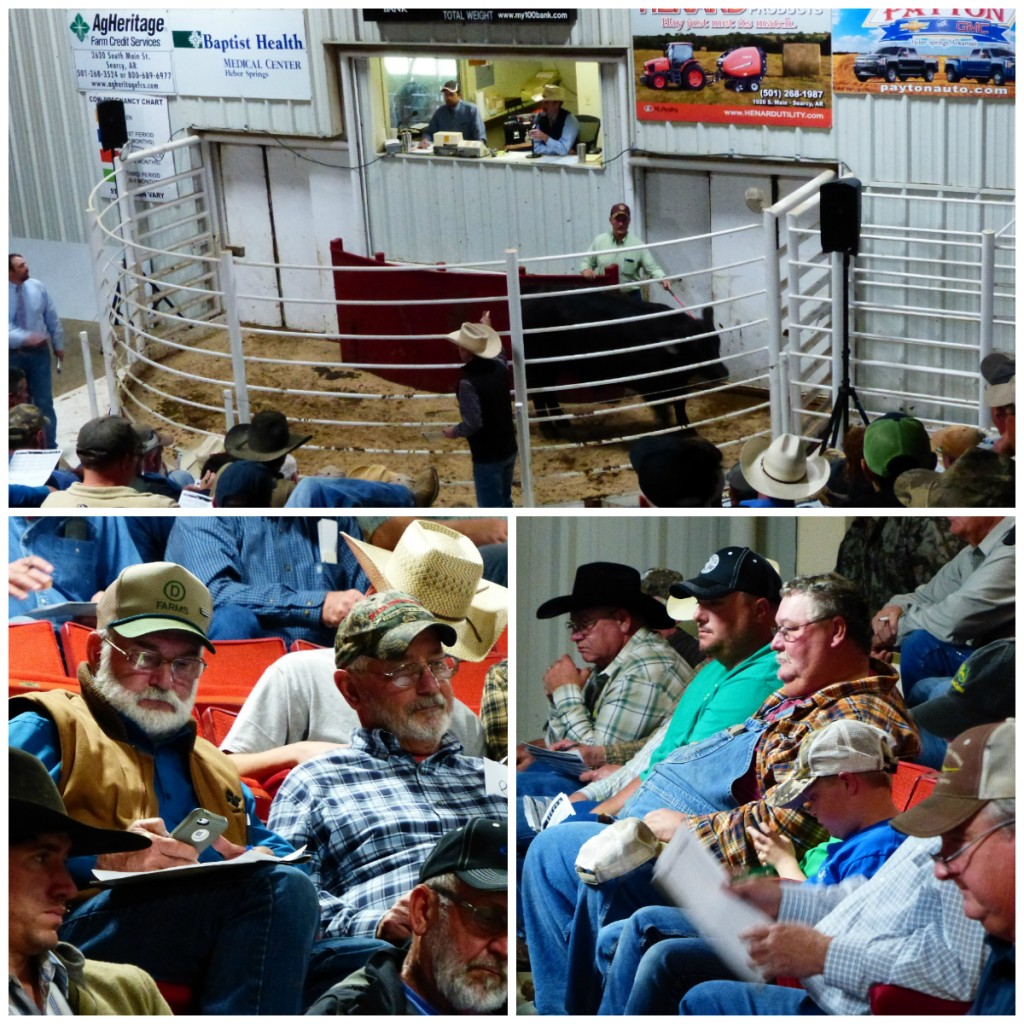 Arkansas Bull Sale 2017 1