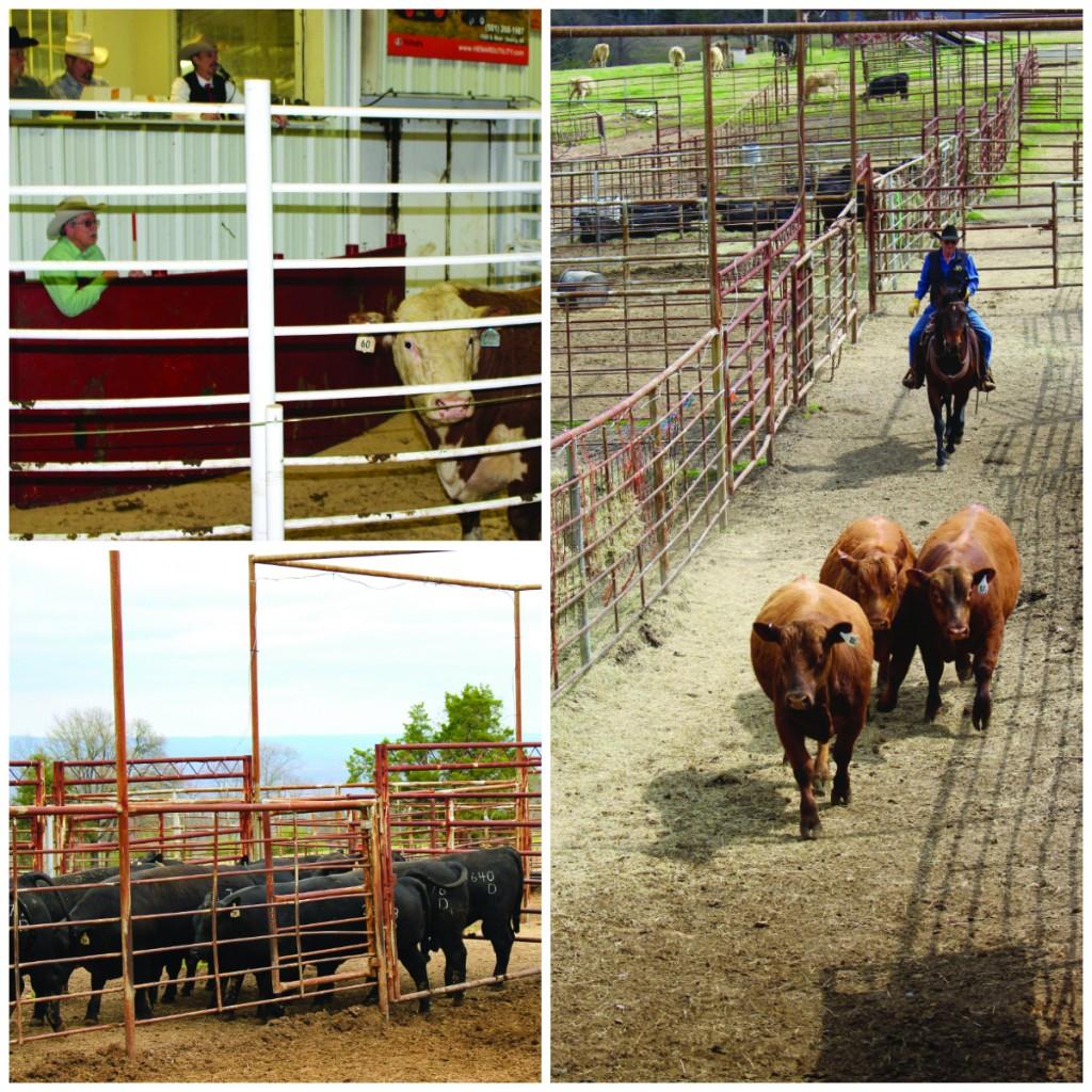 Auctioneer Col. Luke Mobley Arkansas Bull Sale