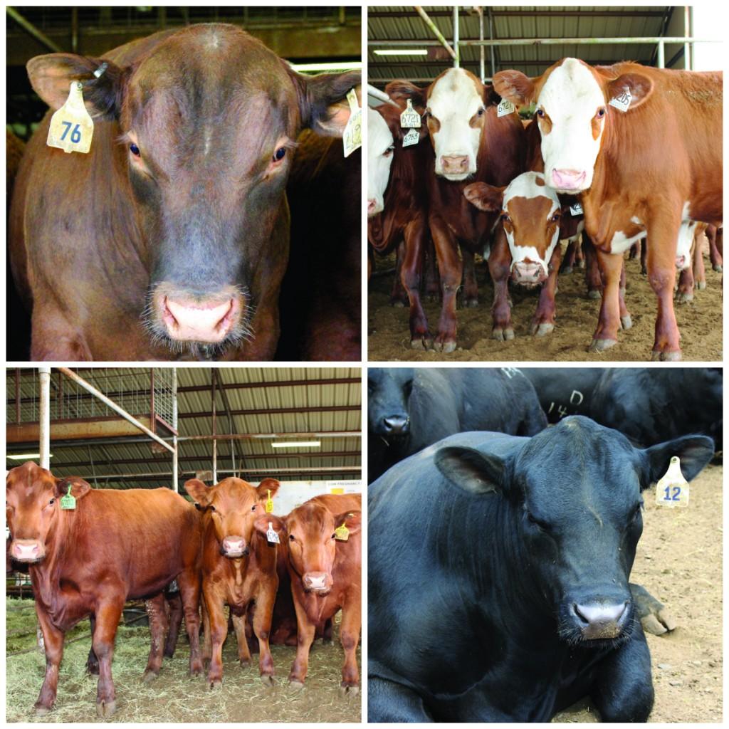 Bulls for sale Arkansas