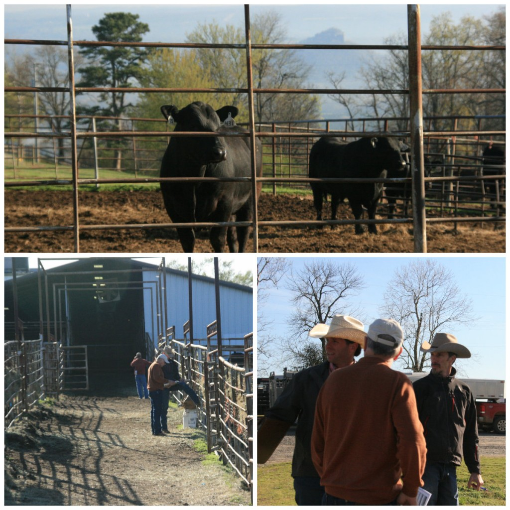 Col. Luke Mobley Arkansas Bull Sale