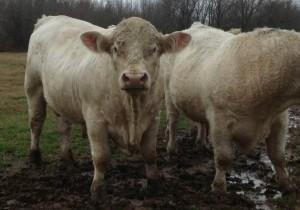 Charolais Bull For Sale Arkansas Bull Sale 1